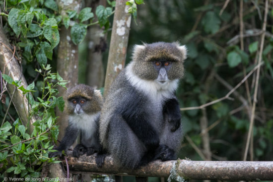Kolb's monkey (Cercopithecus mitis kolbi) at  Aberdares National Park, Kenya