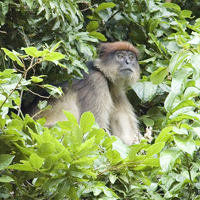 Butynski & De Jong - Red Colobus - Mahale NP - small