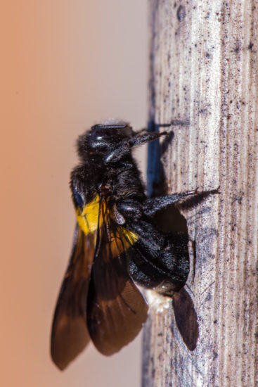 Carpenter bee Xylocopa hottentotta exiting its nest hole in a dry Diplolophium africanum stem on Lolldaiga Hills Ranch. Photograph by Paul Benson.