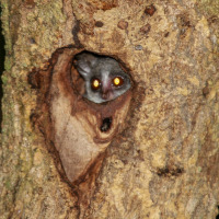 Northern lesser galago (Galago senegalensis) at Agoro-Agu Forest Reserve, Imatong Mountains, central-north Uganda.