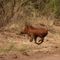 Desert warthog (Phacochoerus aethiopicus), Meru National Park, Kenya