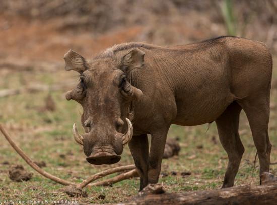 De Jong & Butynski - desert warthog - Samburu NR (17)