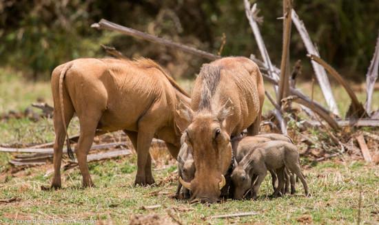 De Jong & Butynski - desert warthog - Samburu NR (19)