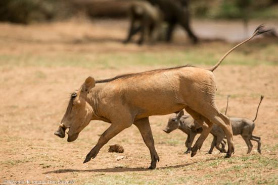 De Jong & Butynski - desert warthog - Samburu NR (6)