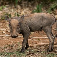 De Jong & Butynski - desert warthog - Samburu NR small