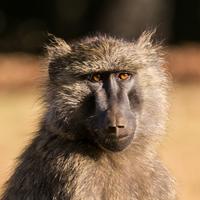 De Jong & Butynski - olive baboon mt Elgon (3)small