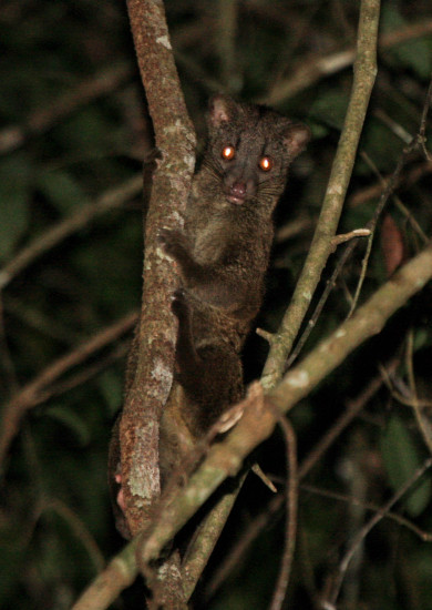 African palm civet or two-spotted palm civet (Nandinia binotata) at Ntem, Southern Cameroon. Photograph by Yvonne de Jong & Tom Butynski