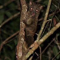 De Jong & Butynski - palm civet - Ntem Cameroonsmall