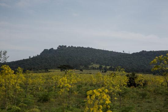 Diplolophium africanum plants in flower in typical habitat on Lolldaiga Hills Ranch. Photograph by Yvonne de Jong & Tom Butynski.