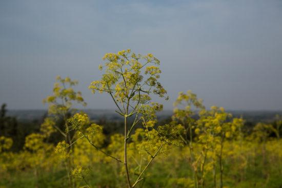 Diplolophium africanum in flower on Lolldaiga Hills Ranch. Photograph by Yvonne de Jong & Tom Butynski.