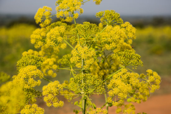 Flowering Diplolophium africanum on Lolldaiga Hills Ranch. Photograph by Yvonne de Jong & Tom Butynski.