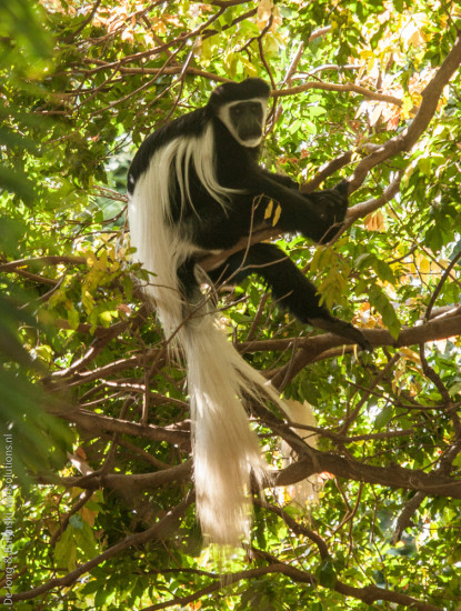 Adult female Mount Kilimanjaro guereza (Colobus guereza caudatus) at Kitobo Forest Reserve, central south Kenya. Notice that the white tail tuft comprises about 80% of the tail. No other subspecies of guereza has such an extensive tail tuft. Photograph by Yvonne de Jong and Tom Butynski.