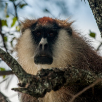 Adult male patas monkey (Erythrocebus patas) in Kidepo Valley National Park