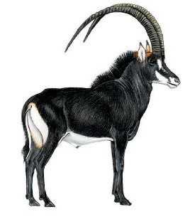 Adult male Roosevelt's sable antelope Hippotragus niger roosevelti. Drawing by Jonathan Kingdon (Kingdon & Hoffmann, 2013).
