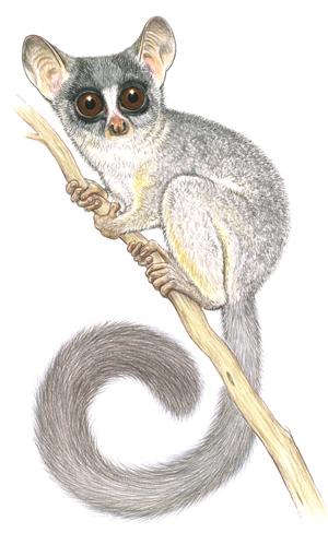 Nash - senegalensis