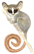 Nash_rondoensis small